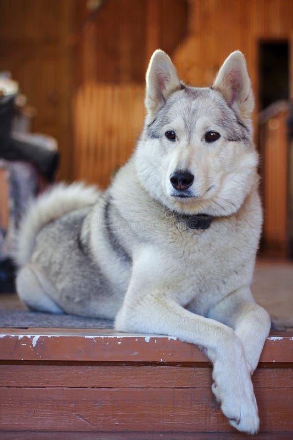 白色猎犬品种基于地板的Laika 宠物 库存图片