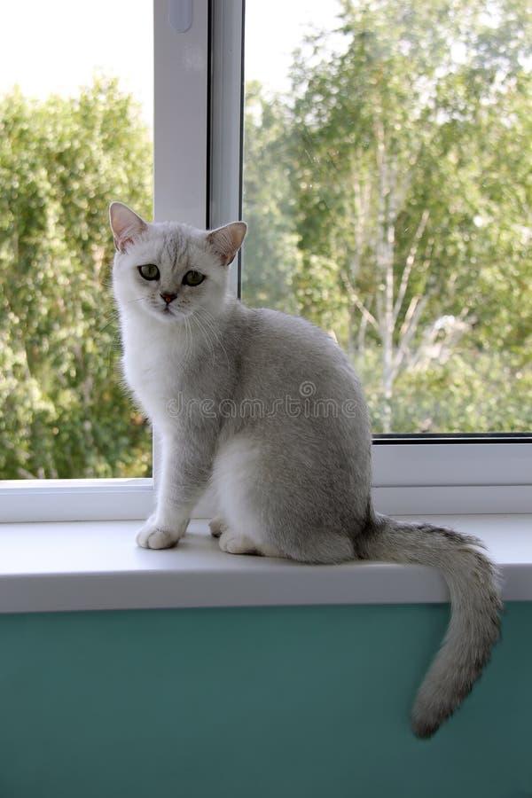 白色猫坐窗口 库存照片
