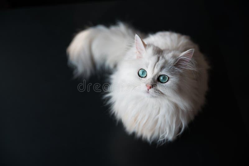 白色猫黄鼠 蓬松逗人喜爱的宠物与 免版税库存图片