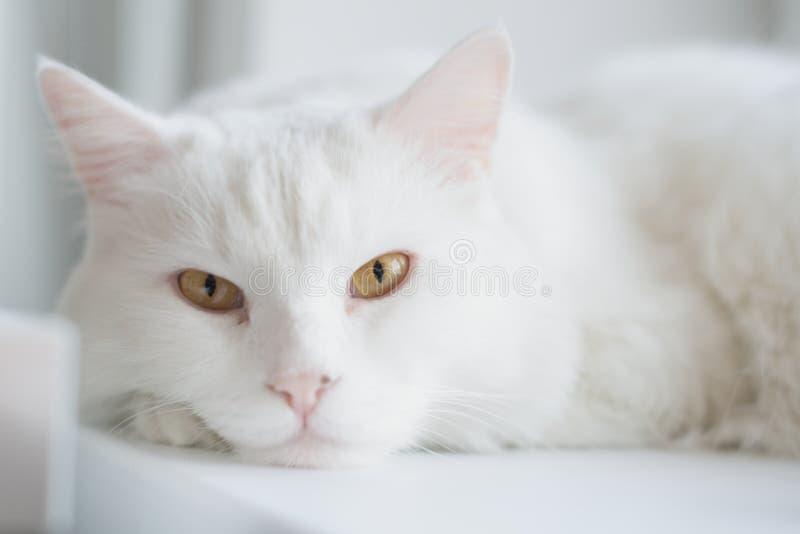 白色猫 免版税库存照片