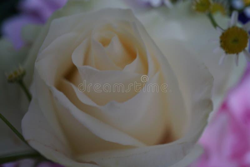 白色玫瑰和在背景春黄菊花 免版税库存照片