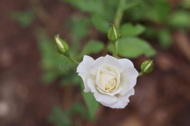 白色玫瑰和芽 库存照片