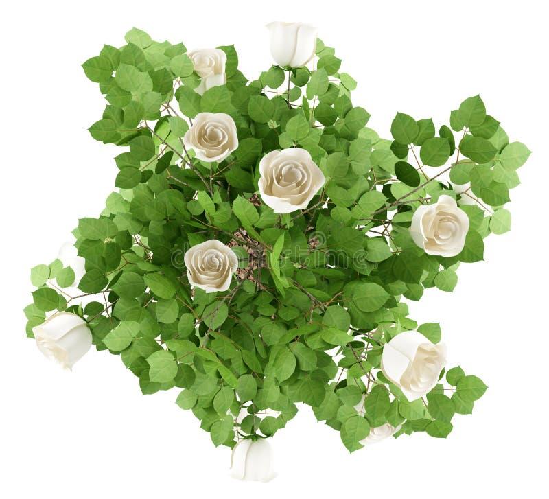 白色玫瑰在白色隔绝的树植物顶视图  向量例证