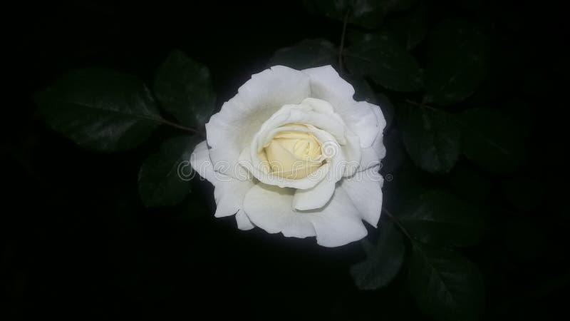 白色玫瑰在黑暗的背景中 库存照片