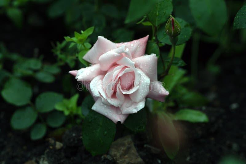 白色玫瑰宏观射击在软的焦点 免版税库存图片