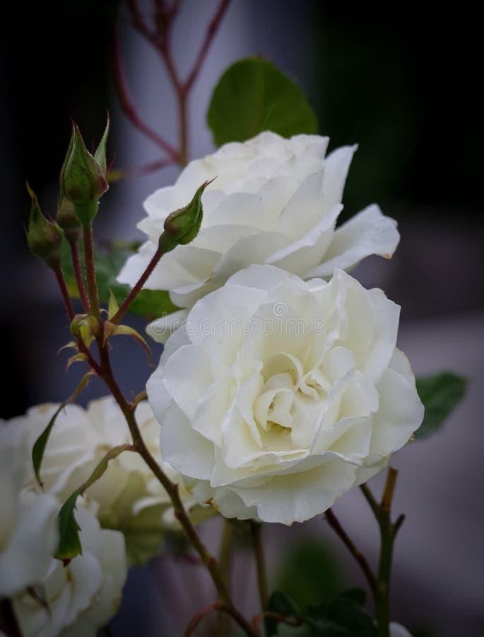 白色玫瑰开花并且发芽有黑暗的背景 库存图片