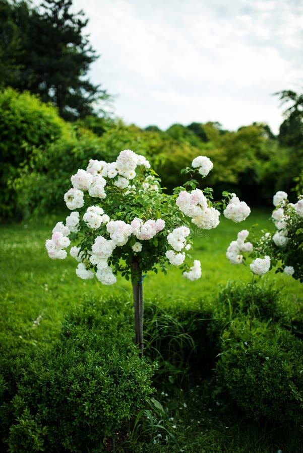 白色玫瑰树在公园 免版税库存图片
