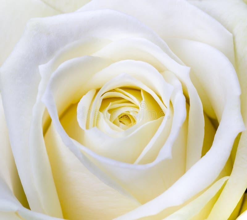 白色玫瑰特写镜头射击  免版税库存照片
