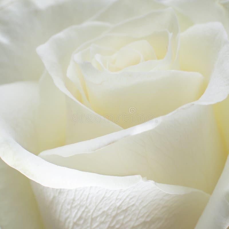 白色玫瑰特写镜头 免版税图库摄影