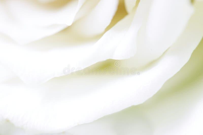 白色玫瑰花瓣 库存图片