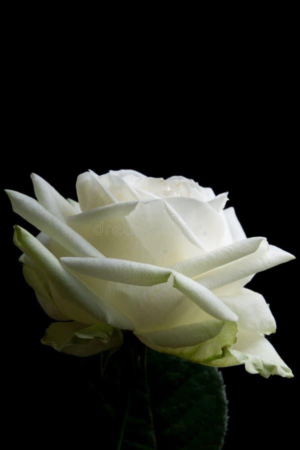 白色玫瑰 库存图片