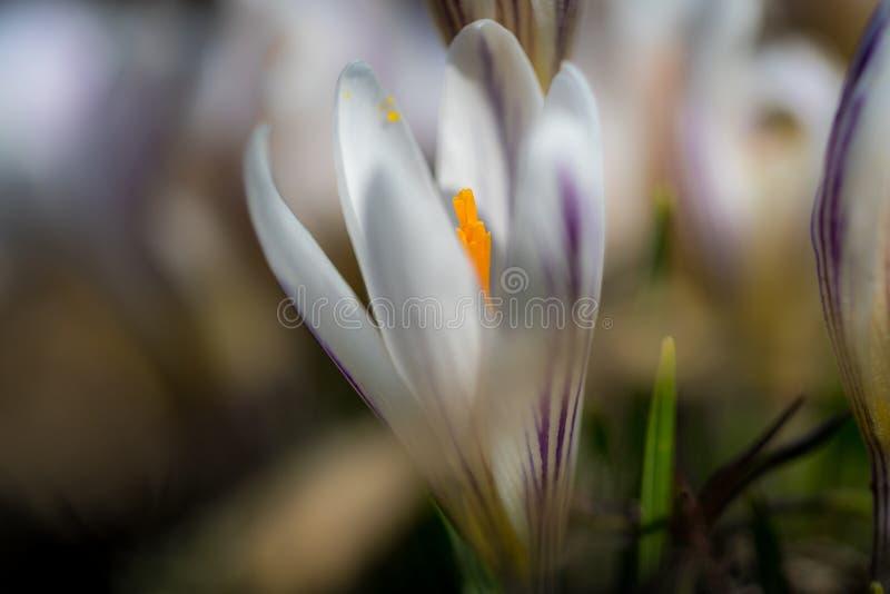 白色番红花vernus 库存图片