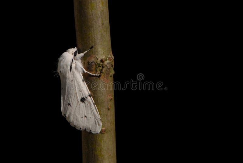 白色白鼬毛皮飞蛾 库存图片