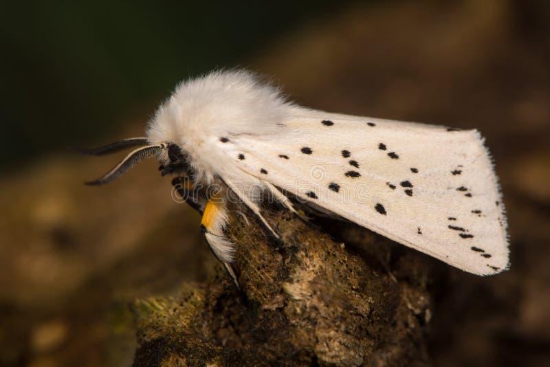 白色白鼬毛皮& x28; Spilosoma lubricipeda& x29;飞蛾休息 库存照片