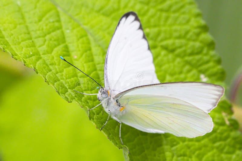白色白蝴蝶,宏观射击的关闭 免版税图库摄影