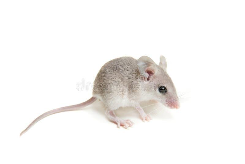白色的东部或阿拉伯多刺的老鼠婴孩 库存图片