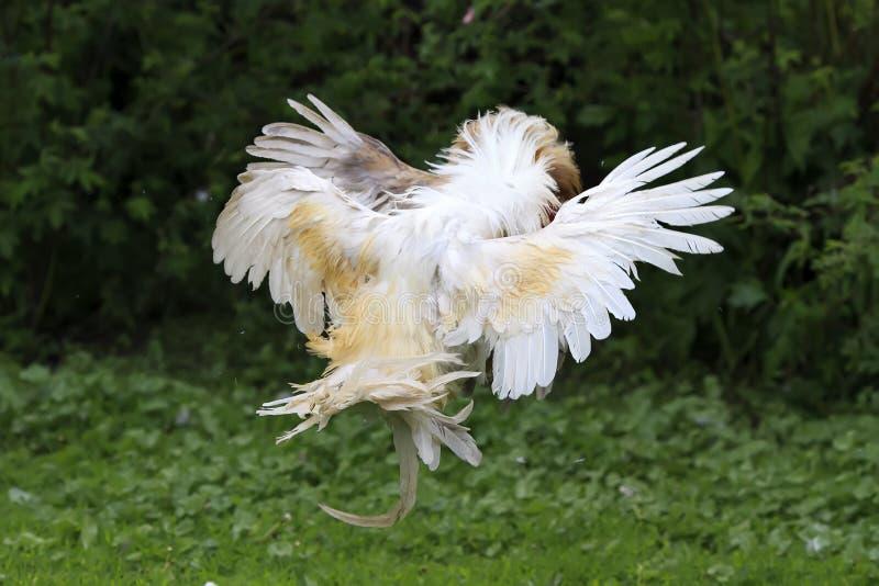 Download 白色的公鸡和在农场的红色战斗 库存图片. 图片 包括有 雄鸡, 愤怒, 国内, 剧烈, 吓呆, 羽毛, 飞行 - 72368985