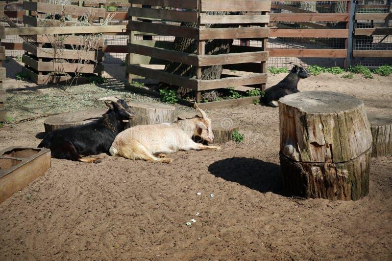 白色的山羊和黑休息的在在农场的一支笔 免版税库存照片