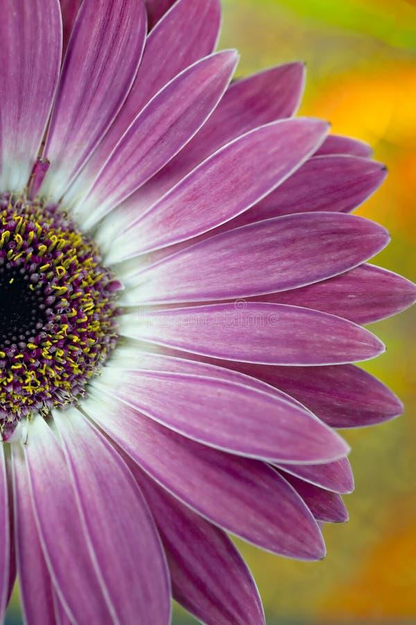 白色的接近的雏菊粉红色 免版税库存照片