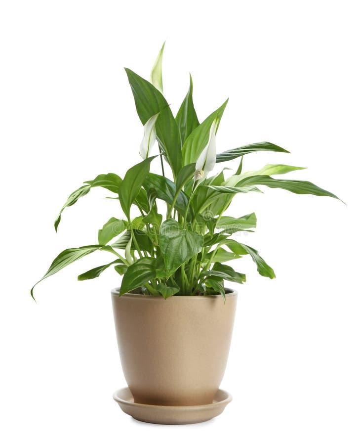 白色的盆的和平百合植物 免版税库存图片