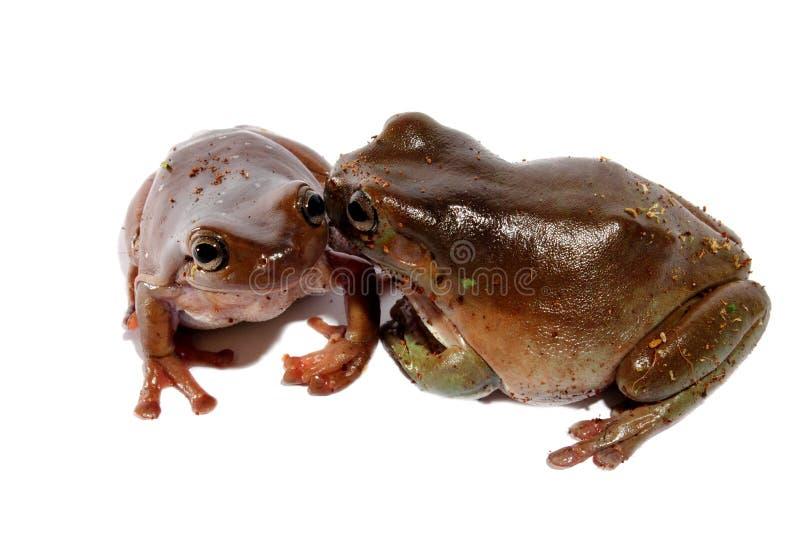 白色的矮胖的雨蛙 库存图片