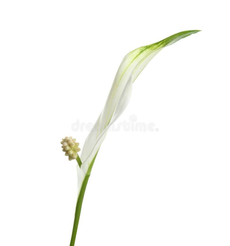 白色的美丽的和平百合植物 图库摄影