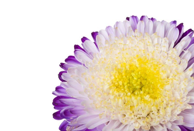 白色的翠菊关闭查出的紫色 免版税库存图片