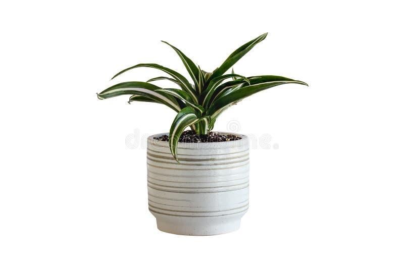 白色盆栽白宝石Dracaena Deremensis 免版税图库摄影