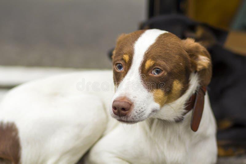 白色看远离照相机的坐和黄色拉布拉多猎犬狗的画象户外 免版税库存图片