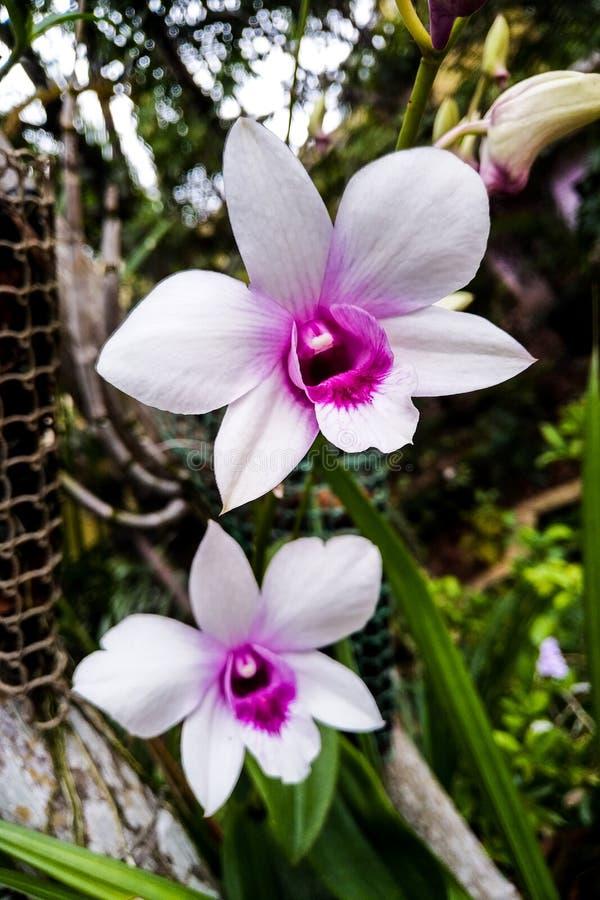 白色石斛兰属的孪生和紫色兰花在庭院里 库存图片