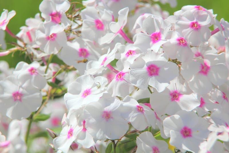 白色福禄考。夏天花。 图库摄影