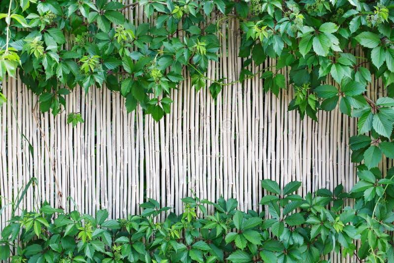 白色竹篱芭纹理背景用绿色葡萄离开 库存照片