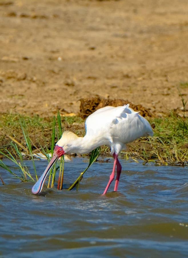 白色粉红琵鹭饮用水的垂直的射击有被弄脏的背景 免版税库存图片