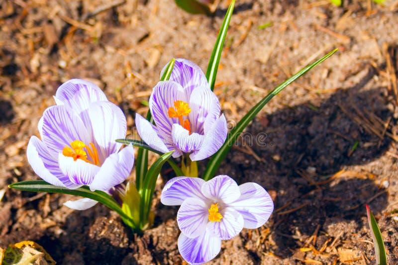 白色紫罗兰色春天番红花背景  免版税库存图片