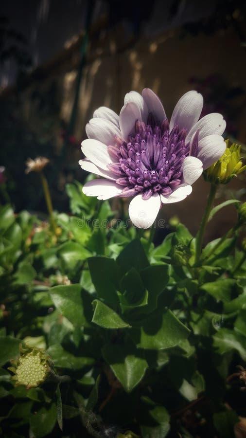 白色紫色花 免版税库存照片