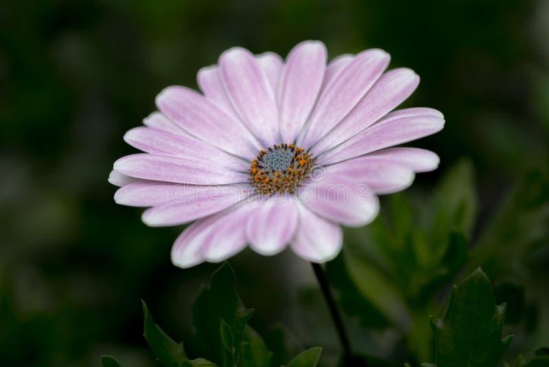 白色紫色非洲雏菊Osteospermum花 免版税库存照片