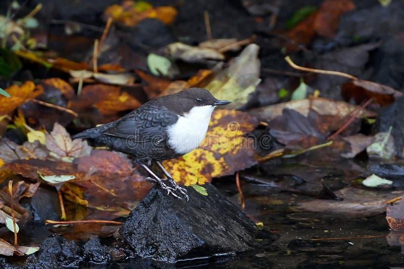 白色红喉刺莺的浸染工(Cinclus cinclus) 免版税库存图片
