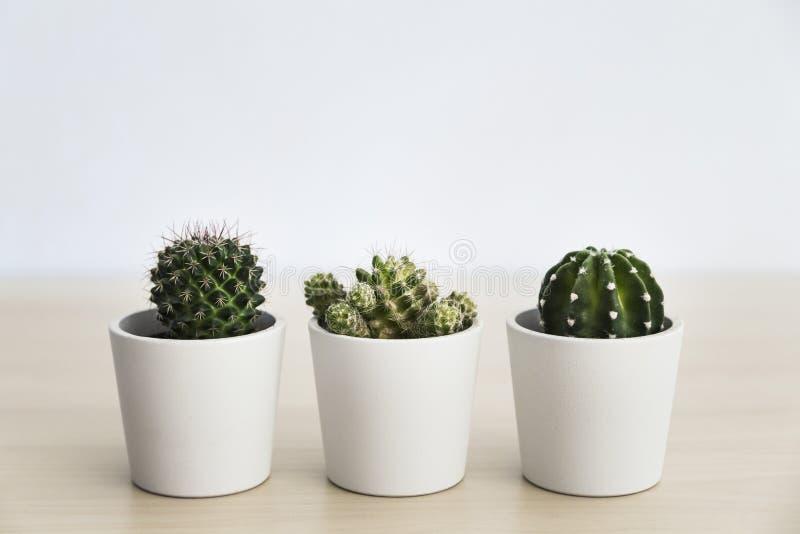 白色罐的三棵小仙人掌植物 库存照片