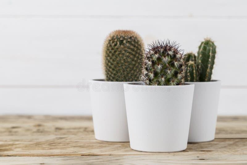 白色罐的三棵仙人掌植物 免版税库存照片