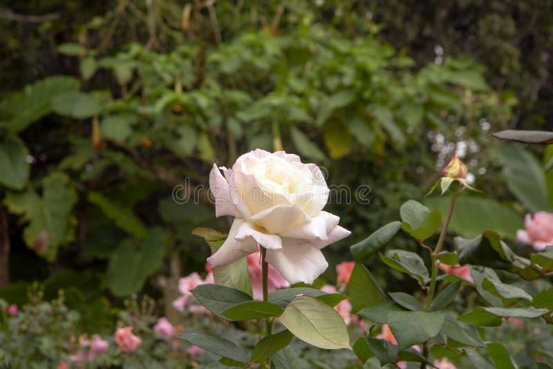 白色罗斯的绽放-或脸红与水滴 库存图片