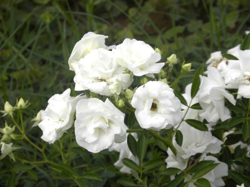 白色罗斯花在庭院里 免版税库存图片