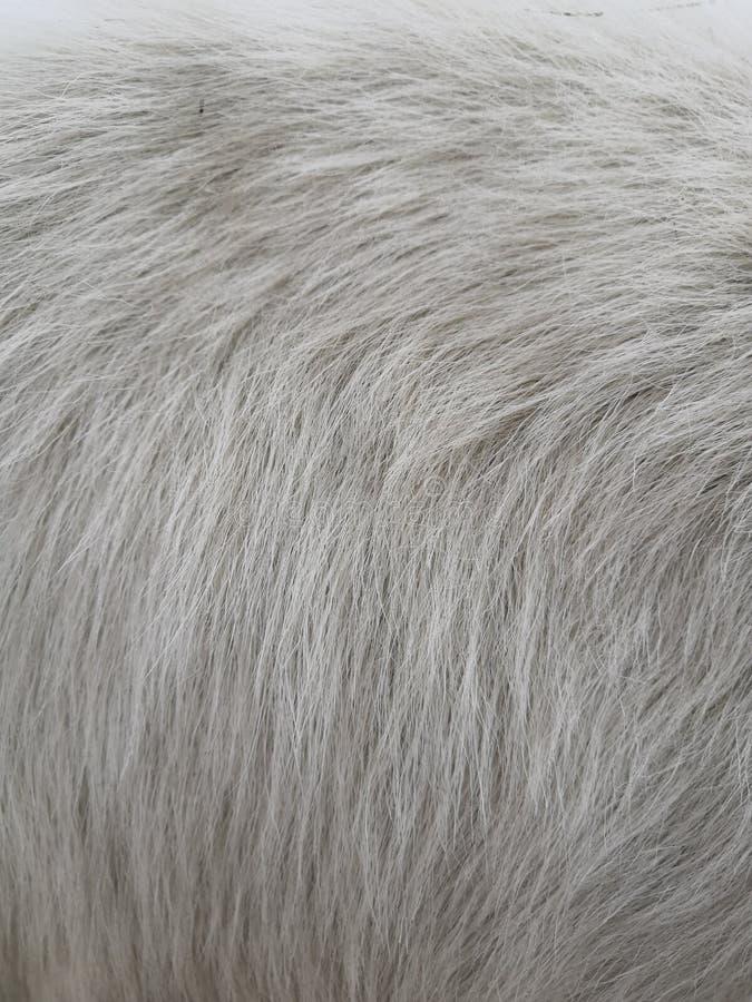 白色羊毛有白色顶面纹理背景,轻的自然绵羊羊毛,白色无缝的棉花,纹理 库存图片