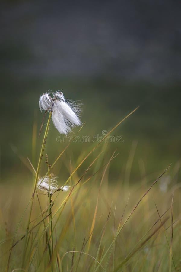 白色羊胡子草生长在Sarek平原的浩大的空间的,瑞典 免版税图库摄影