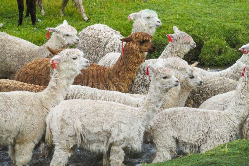 白色羊魄牧群横穿河 免版税库存图片