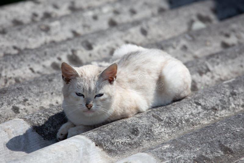 白色美丽的猫在灰色板岩说谎 免版税库存图片