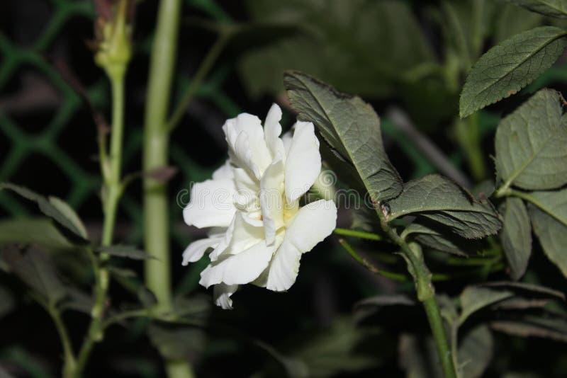 白色美丽的玫瑰色花 免版税库存图片