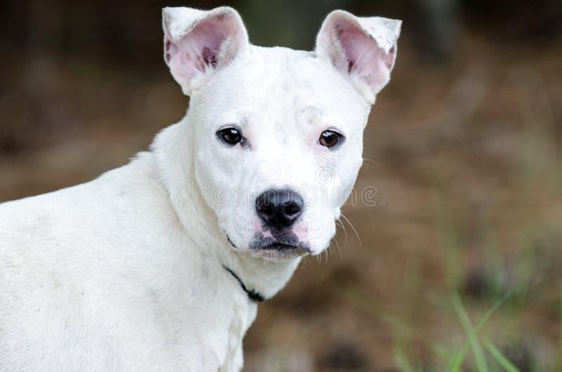 白色美洲叭喇狗混合狗 图库摄影
