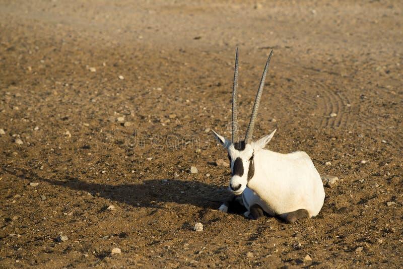 白色羚羊属 库存图片
