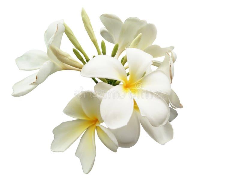 鸡蛋坟_赤素馨花,羽毛,鸡蛋花,坟园树 库存照片. 图片 包括有 晴朗 ...