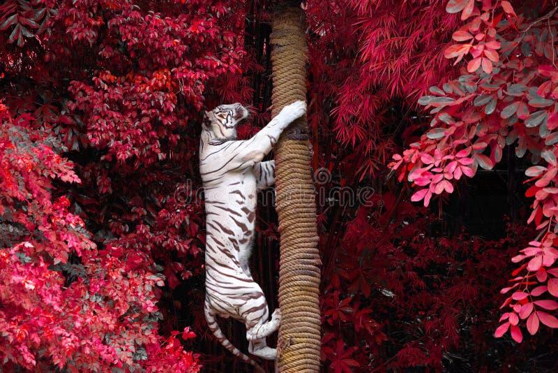 白色老虎爬在狂放的自然的树 库存照片